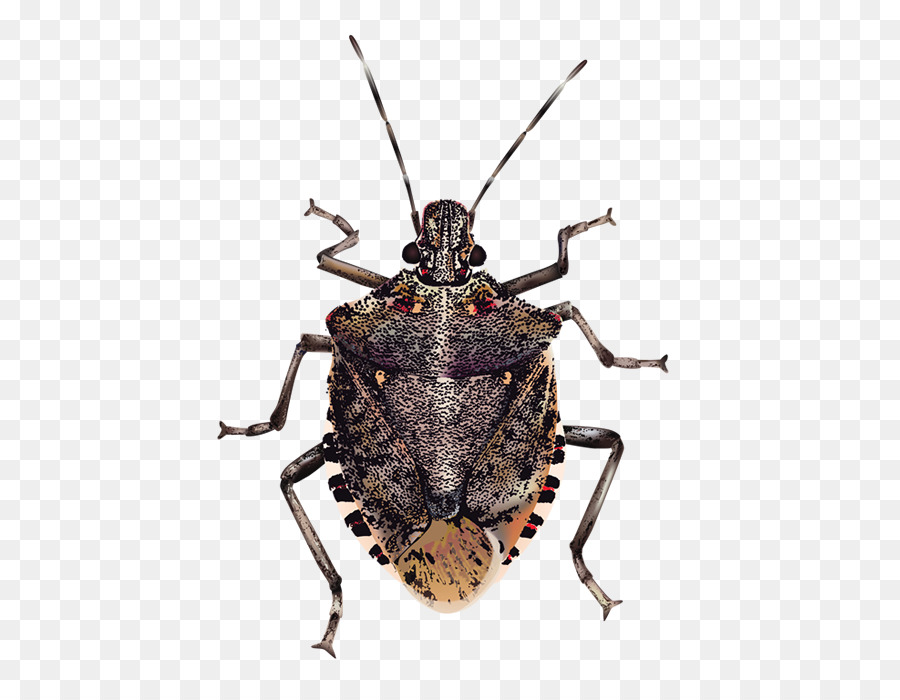 Bug Png - Insect Brown marmorated stink bug True bugs - Bugs Transparent Background