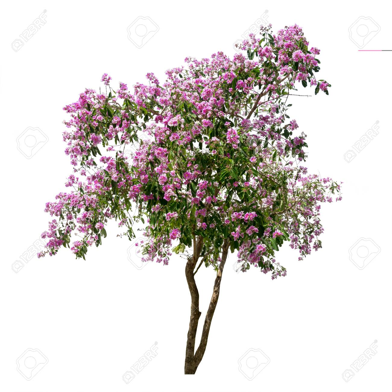 Png Tree With White And Pink Flowers - Isolated Lagerstroemia Speciosa Tree With Purple And Pink Flowers ...