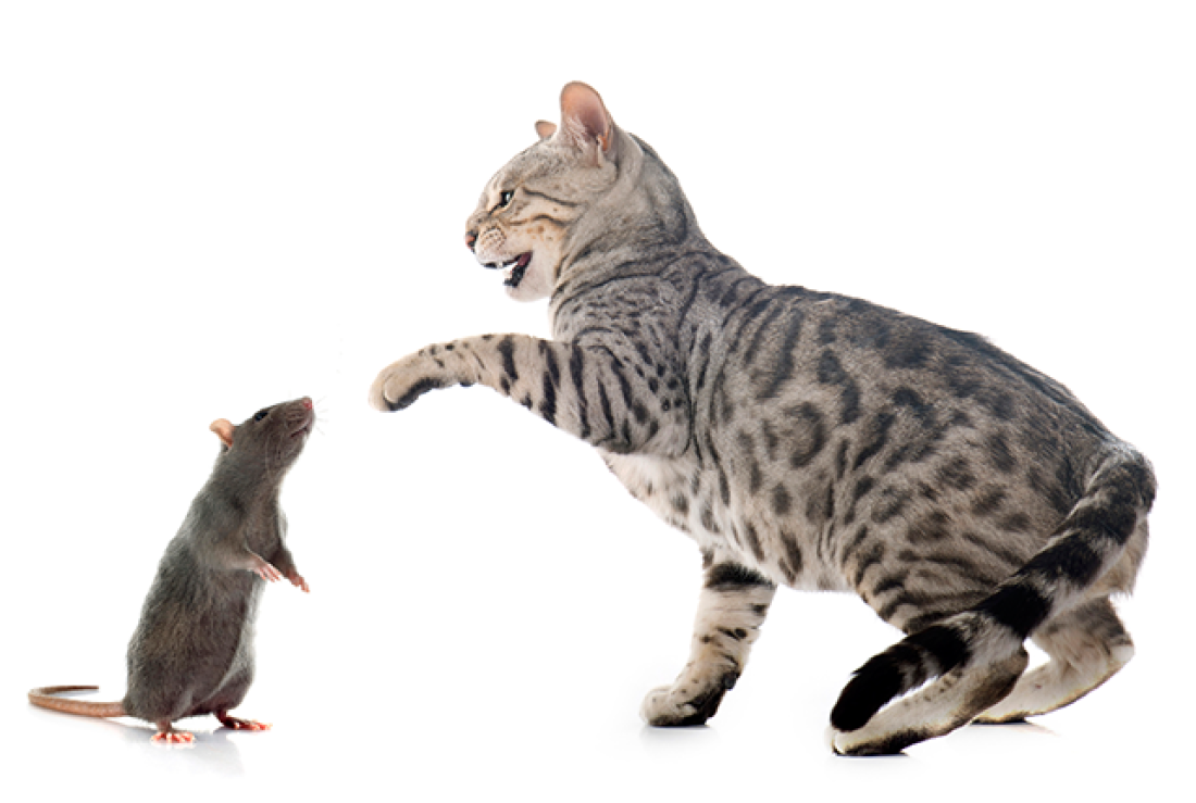 Rat And Cat Png - iStock
