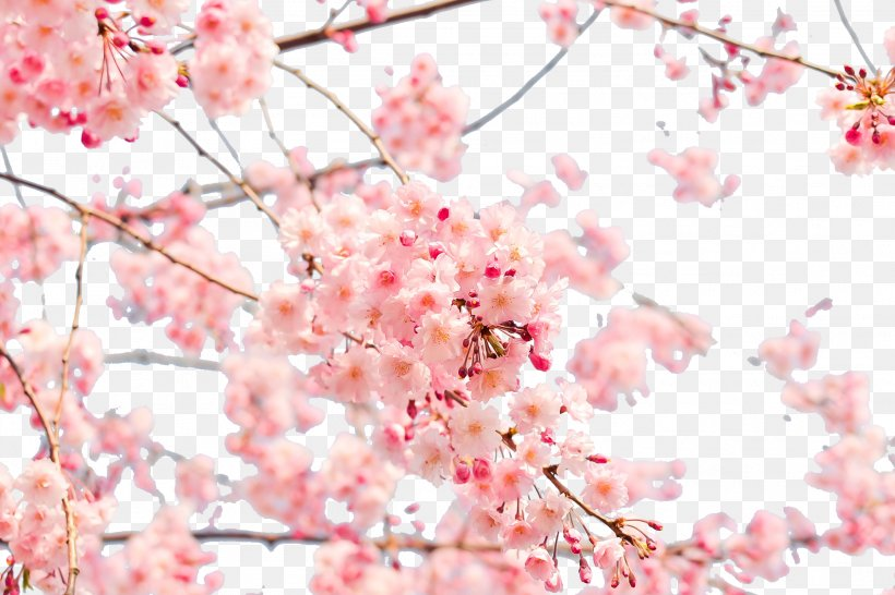 Cherry Blossom Tree Wallpaper Png Free Cherry Blossom Tree Wallpaper Png Transparent Images 89859 Pngio
