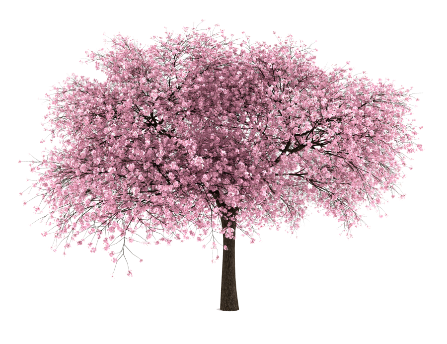 Png Tree With White And Pink Flowers - Japanese cherry blossom tree image transparent download - RR ...