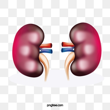 Kidney Png - Kidney Png, Vector, PSD, and Clipart With Transparent Background ...