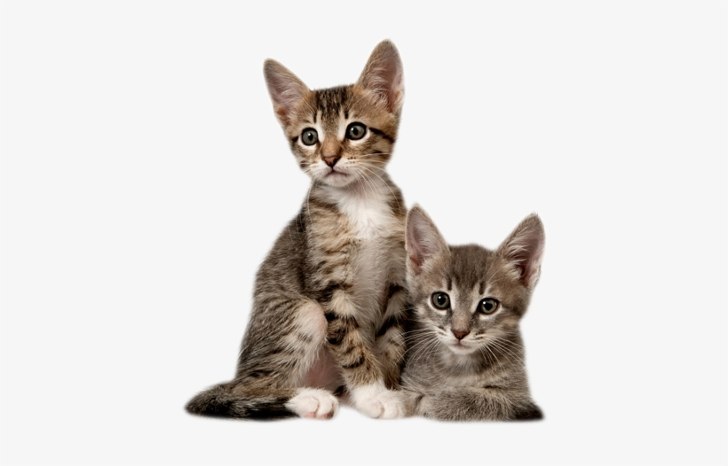 Kitten Cat With Kitten Png Free Tran 1120813 Png Images Pngio