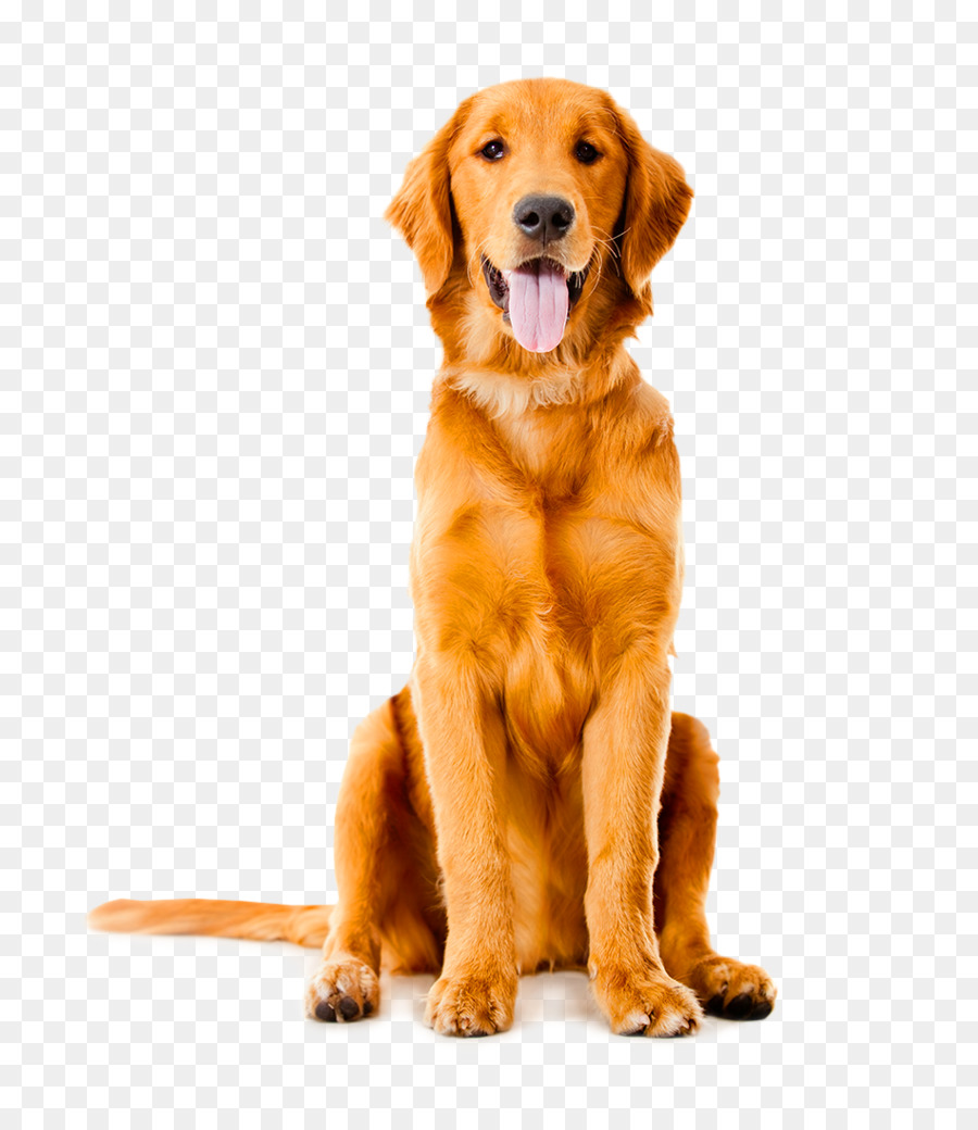 Dog Png - Labrador Retriever Golden Retriever German Shepherd Pet sitting Puppy - Dog