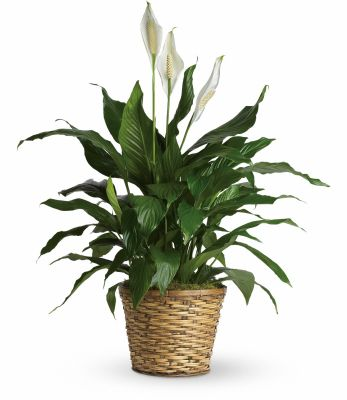 Peace Lily Png - Large Peace lily plant | Scent & Violet | flowers and gifts ...