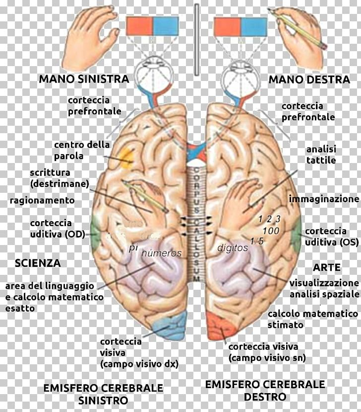 Lateralization Of Brain Function Png - Lateralization Of Brain Function Cerebral Hemisphere Human Brain ...