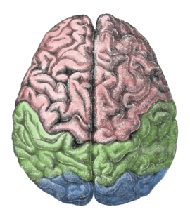 Lateralization Of Brain Function Png - Lateralization of brain function - Wikipedia