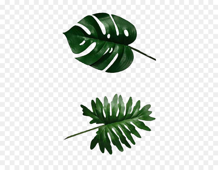 Philodendron Png - leaf png download - 400*696 - Free Transparent Swiss Cheese Plant ...