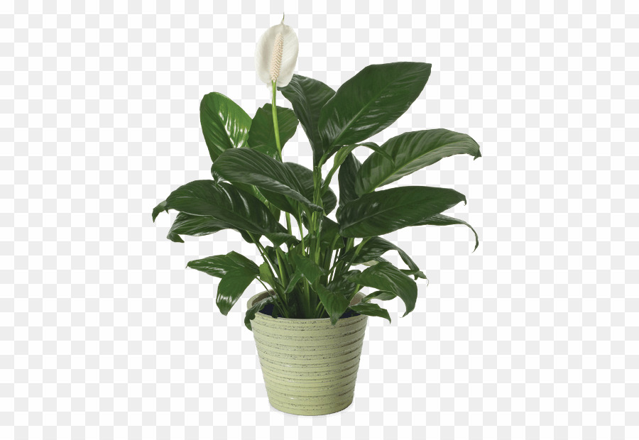 Peace Lily Png - Leaf PNG Peace Lily Clipart download - 500 * 611 - Free ...