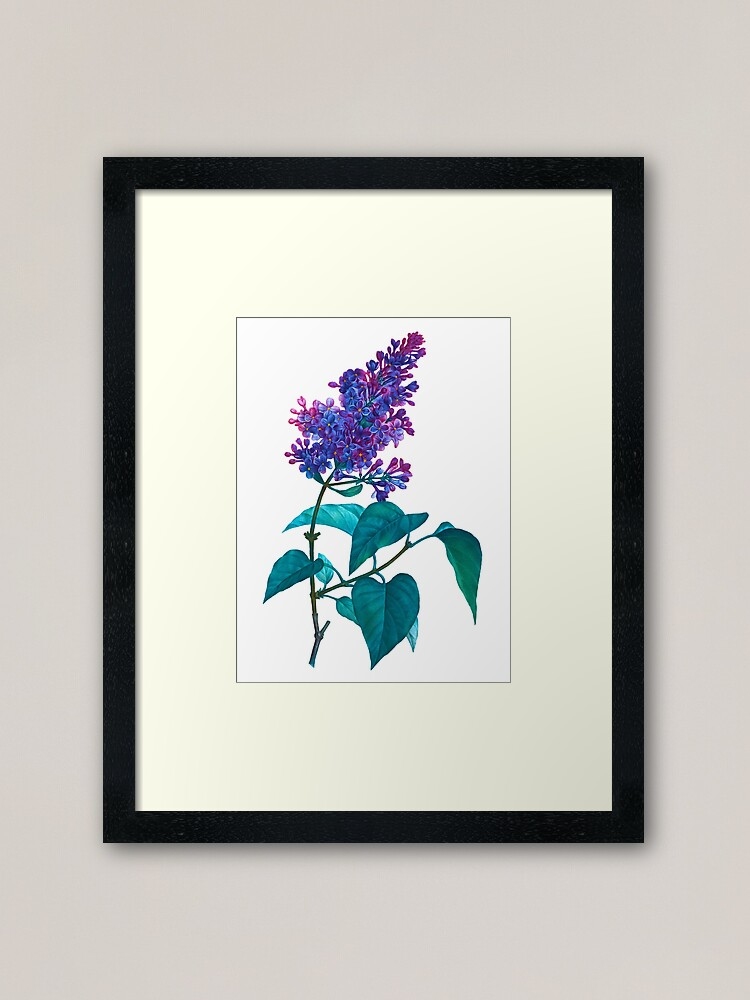 Stipple Engraving Png - Lilac Vulgaris, Les Liliacees, Antique Color Stipple Engraving by ...