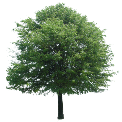 Lime Tree Png - Lime tree png 3 » PNG Image