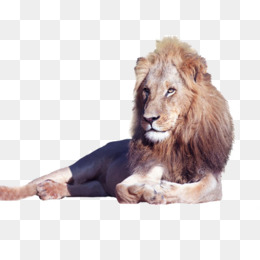 Lion Laying Down Png - lion lying, Lion Clipart, Animal, Beast PNG Image and Clipart