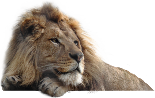 Lion Laying Down Png - Lion PNG