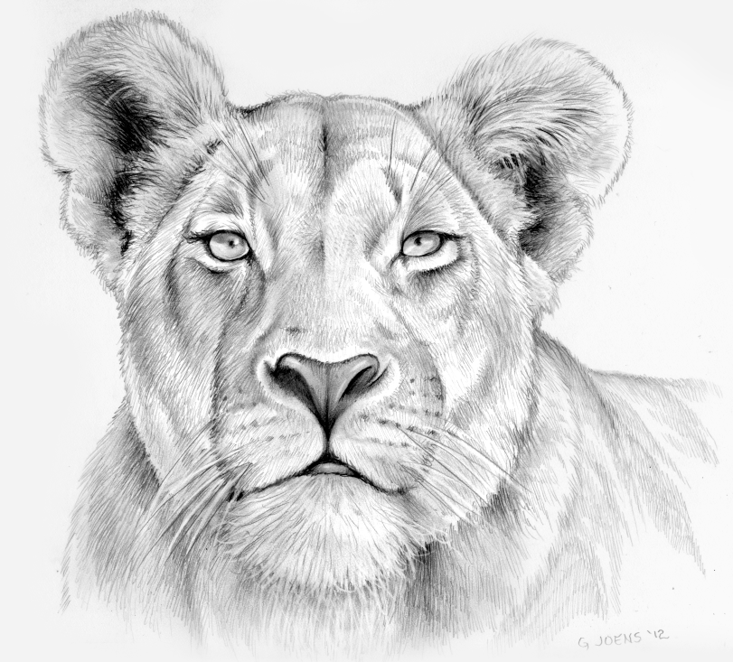 Female Lion Drawings Png - Lioness in pencil by gregchapin.deviantart.com on @deviantART ...