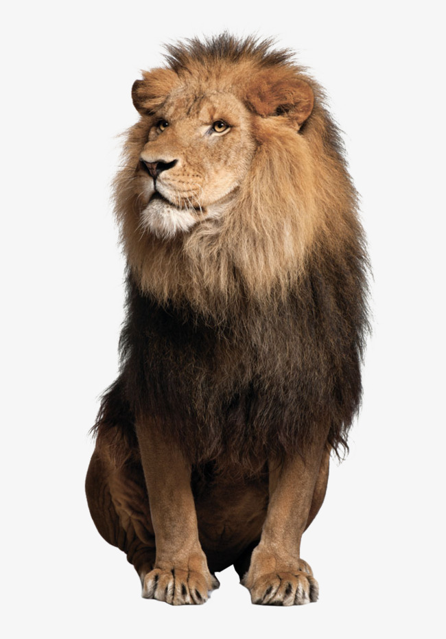 Lion Png - lions lions, Lions, Animal, Big PNG Image and Clipart