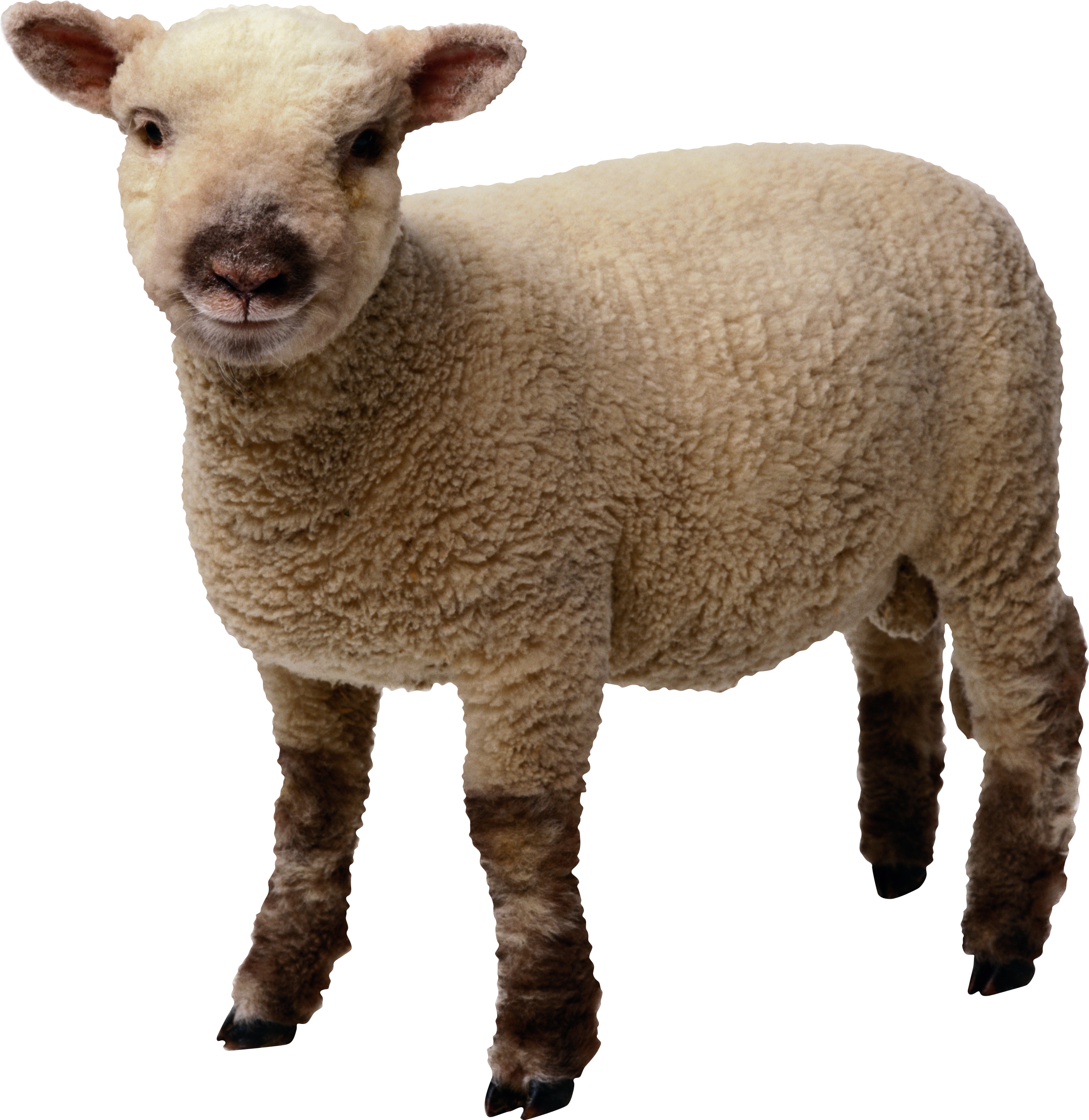 Sheep Png - little sheep PNG image