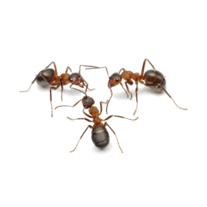 Ants Png - Live Ants for Ant World