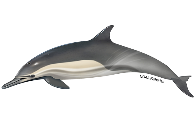 Short Beaked Common Dolphin Png - Long-Beaked Common Dolphin   NOAA Fisheries