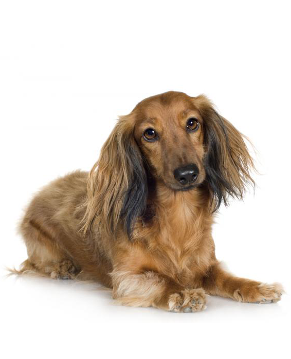 35+ I Love My Long Haired Dachshund- Svg File Image