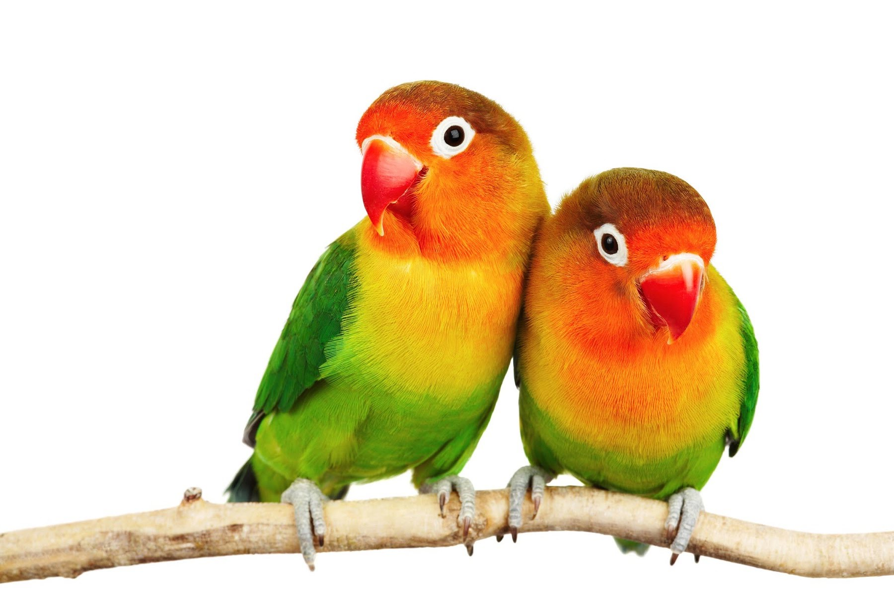 Love Birds In Tree Png - Lovebird PNG HD Transparent Lovebird HD.PNG Images. | PlusPNG