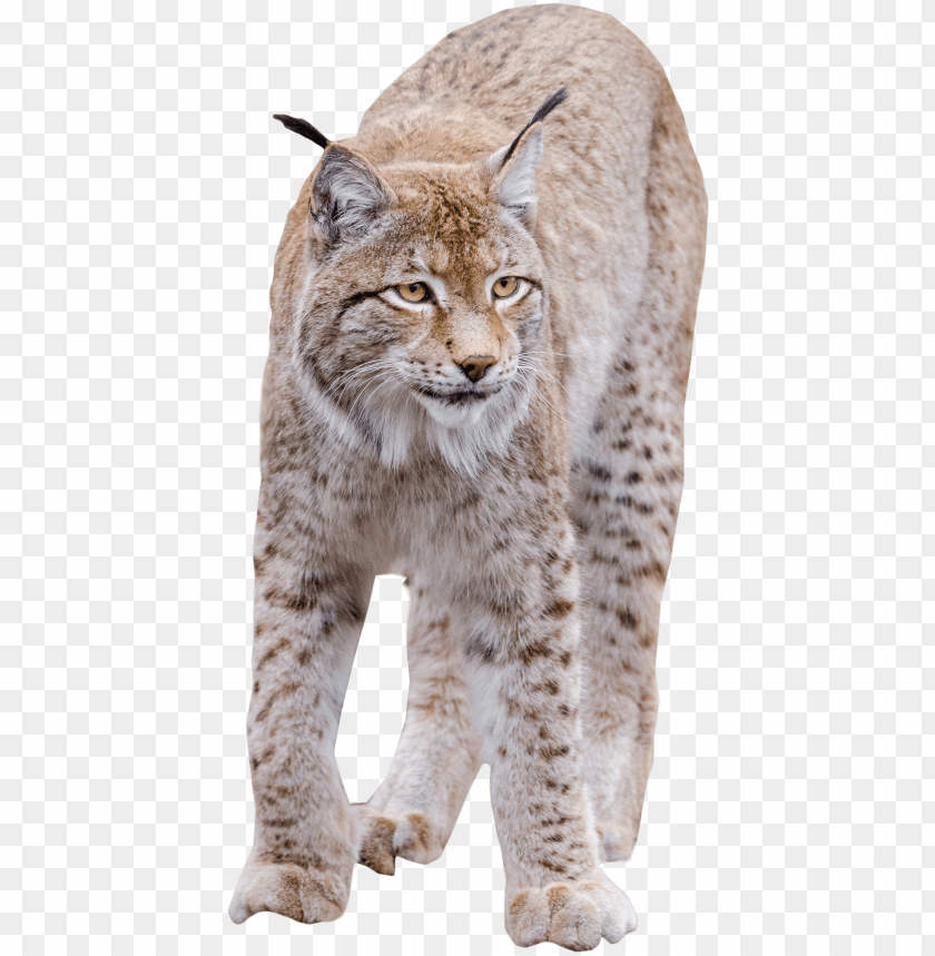 Lynx Cat Png - lynx standing png image - cat png high quality PNG image with ...