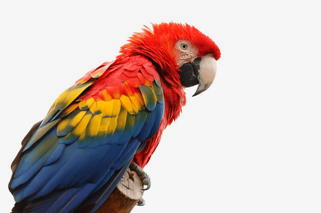 Macaw Png - macaw, Parrot, Birds PNG Image and Clipart