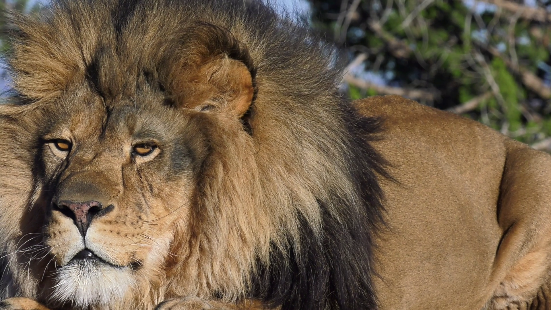 Lion Laying Down Png - male lion laying down close up 4k Stock Video Footage - Storyblocks Video