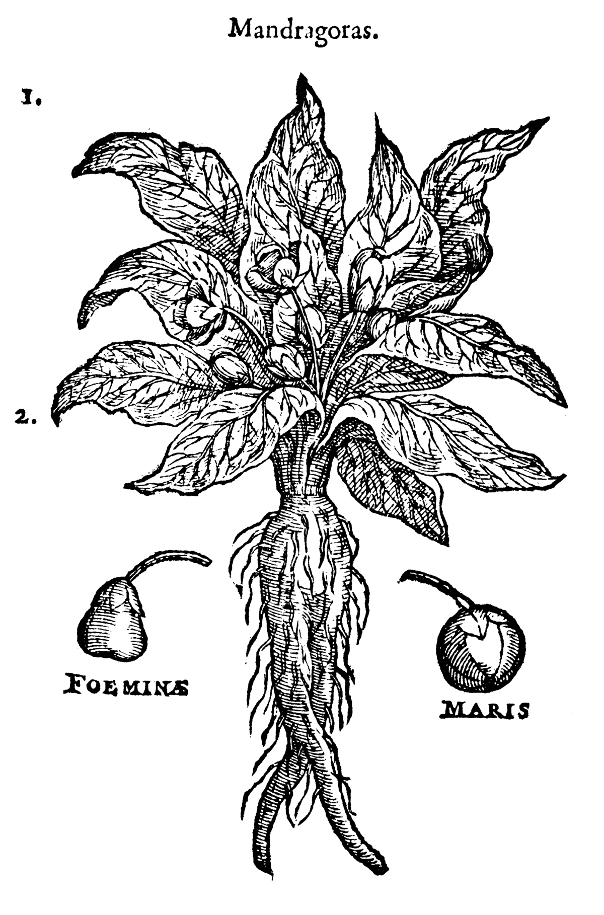 Free Printable Png Of Food In Colorbook Form - Mandrake - Wikipedia