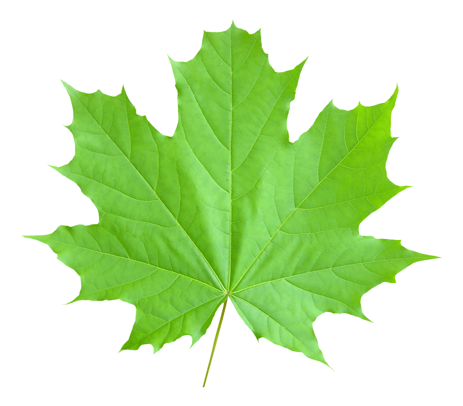 Png Leaf - Maple Leaf PNG Transparent Image - PngPix