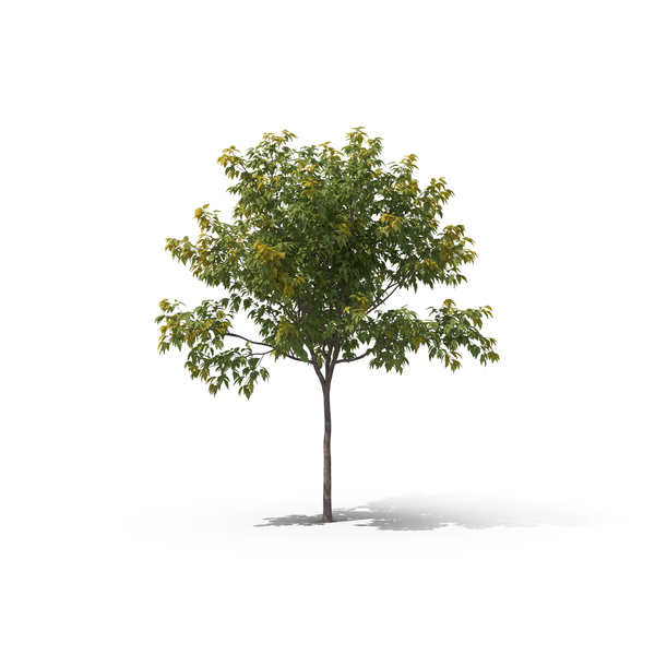 Lime Tree Png - Maple Tree PNG Images & PSDs for Download | PixelSquid - S105679976