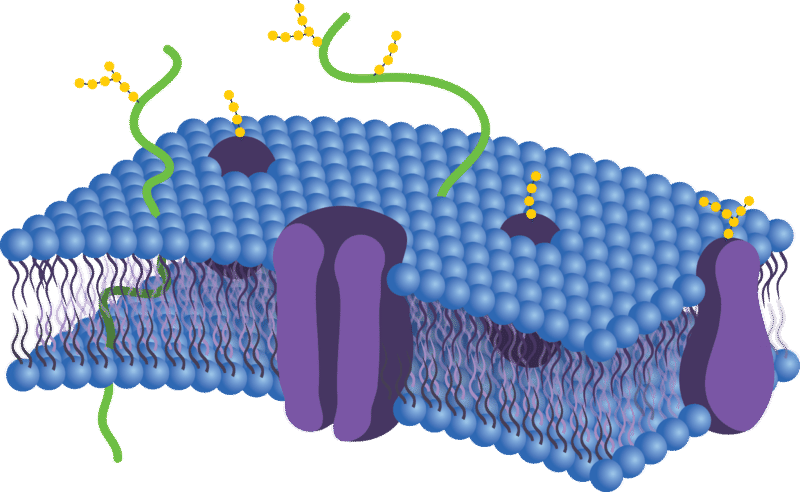 Biological Membrane Png - Membrane Proteins ( Read ) | Biology | CK-12 Foundation