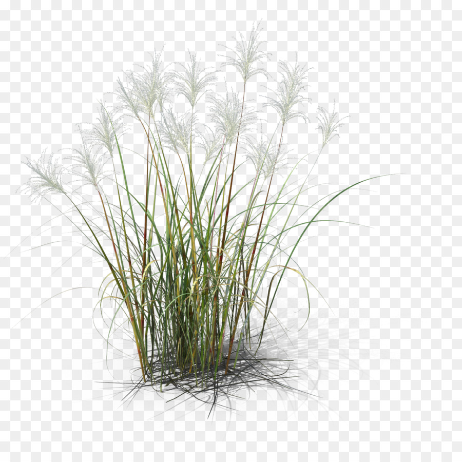 Reed Png Free Reed Png Transparent Images 37001 Pngio