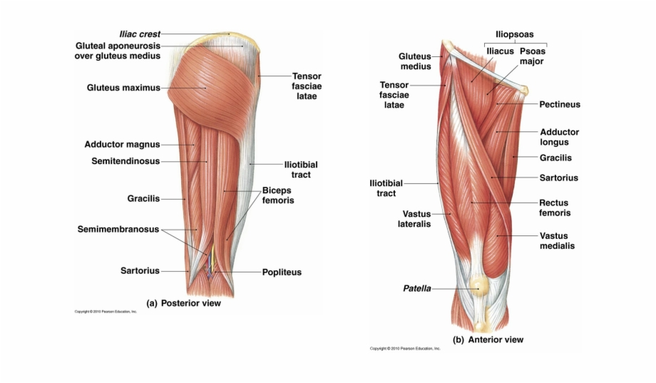 Leg Muscle Png - Musclar Legs Png - Muscular System In The Leg {#1207738} - Pngtube
