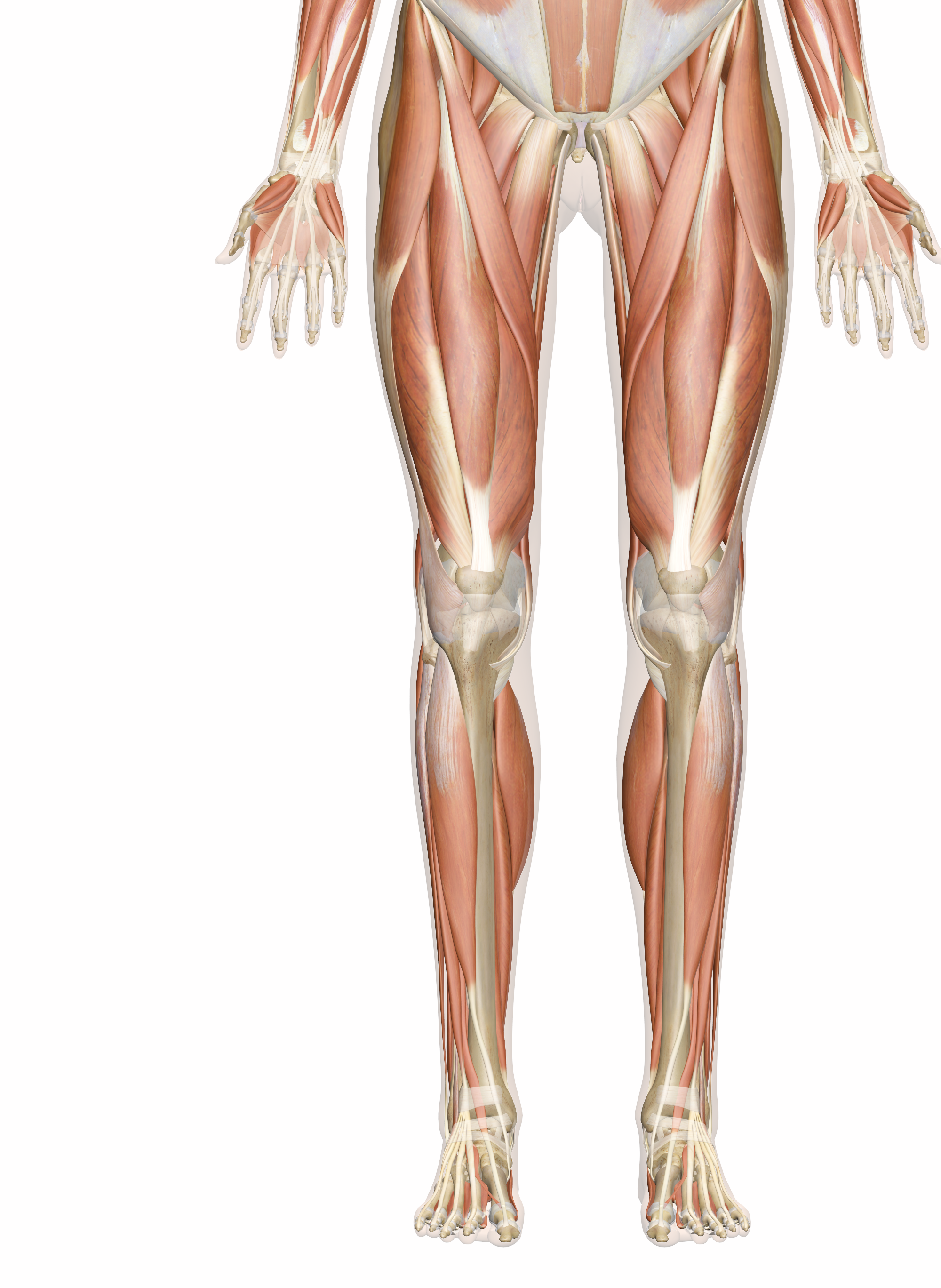 Leg Muscle Png - Muscles of the Leg and Foot