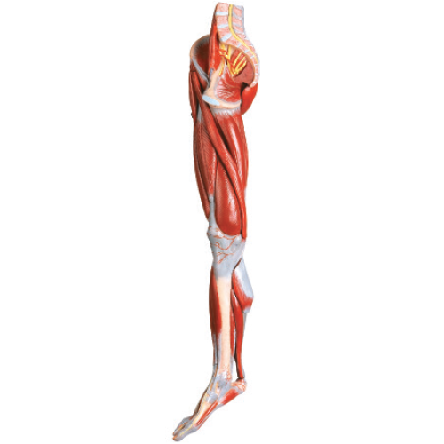 Leg Muscle Png - Muscles of the Leg with main vessels & nerves Model [EDLM2 ...