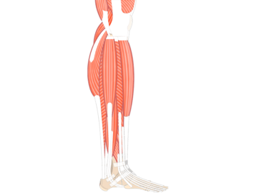 Leg Muscle Png - Muscular System Quizzes • Anatomy & Physiology