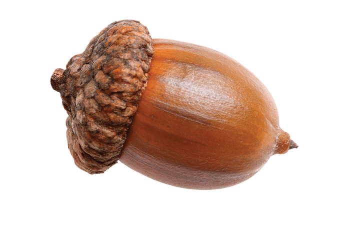 Acorn Png - nature · acorns