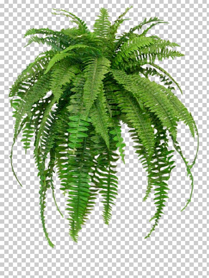 Common Ferns Png - Nephrolepis Exaltata Houseplant Fern NASA Clean Air Study PNG ...