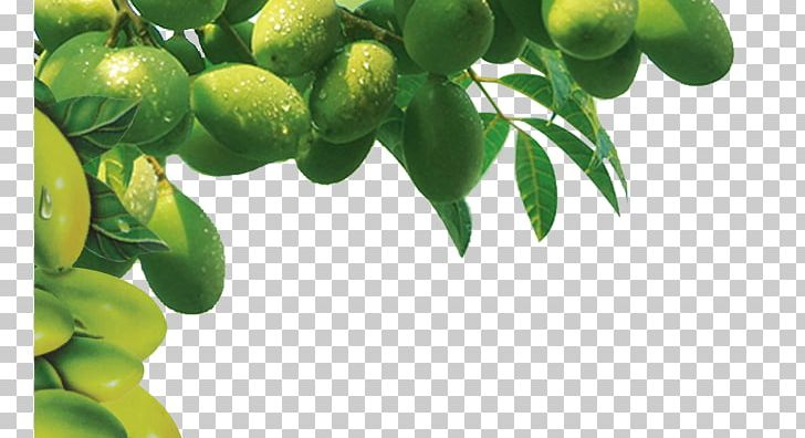 Lime Tree Png - Olive Oil Tree PNG, Clipart, Branch, Christmas Tree, Citrus ...