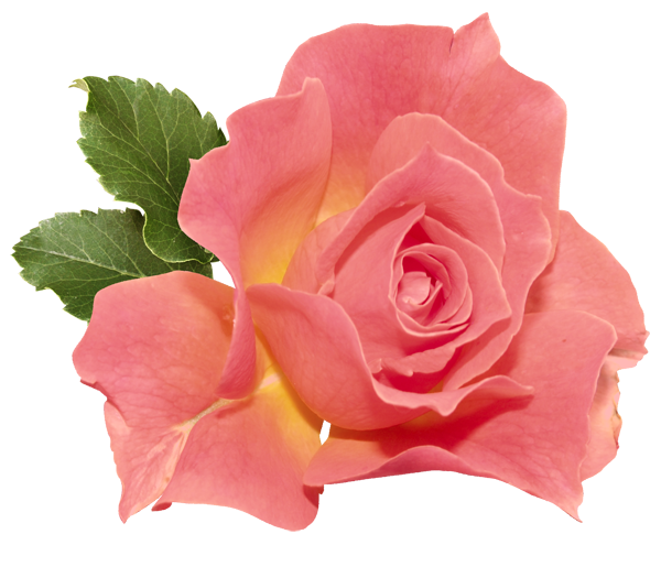 Tea Rose Png - Orange Rose PNG Clipart   Gallery Yopriceville - High-Quality ...