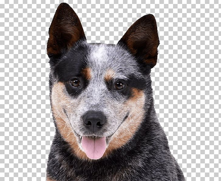 Rare Breed Dog Png - Ormskirk Terrier Stumpy Tail Cattle Dog Australian Cattle Dog ...