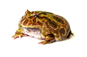 Horned Frog Png - Other Frogs for Sale | Reptiles for Sale