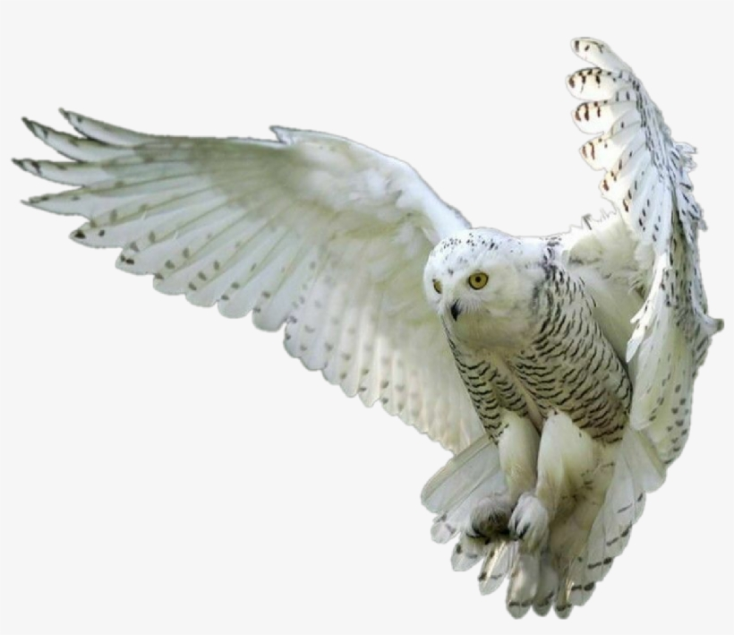 Flying Owl Png - Owl Owls Whiteowl Hedwig Forest Fly Bird Birds - Owl Png - Free ...