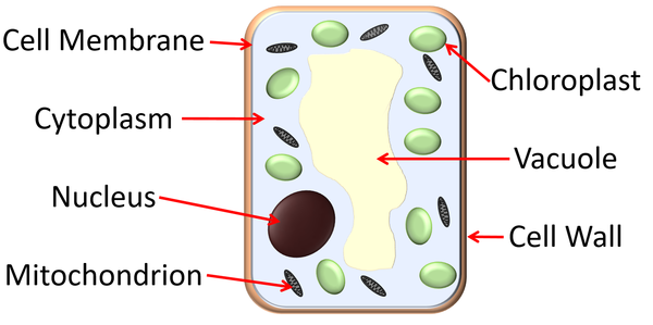 Palisade Cell - Key Stage Wiki #2906543 - PNG Images - PNGio