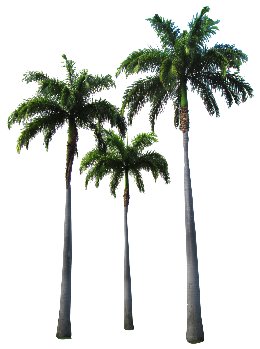Dead Palm Tree Png - Palm Transparent PNG Pictures - Free Icons and PNG Backgrounds