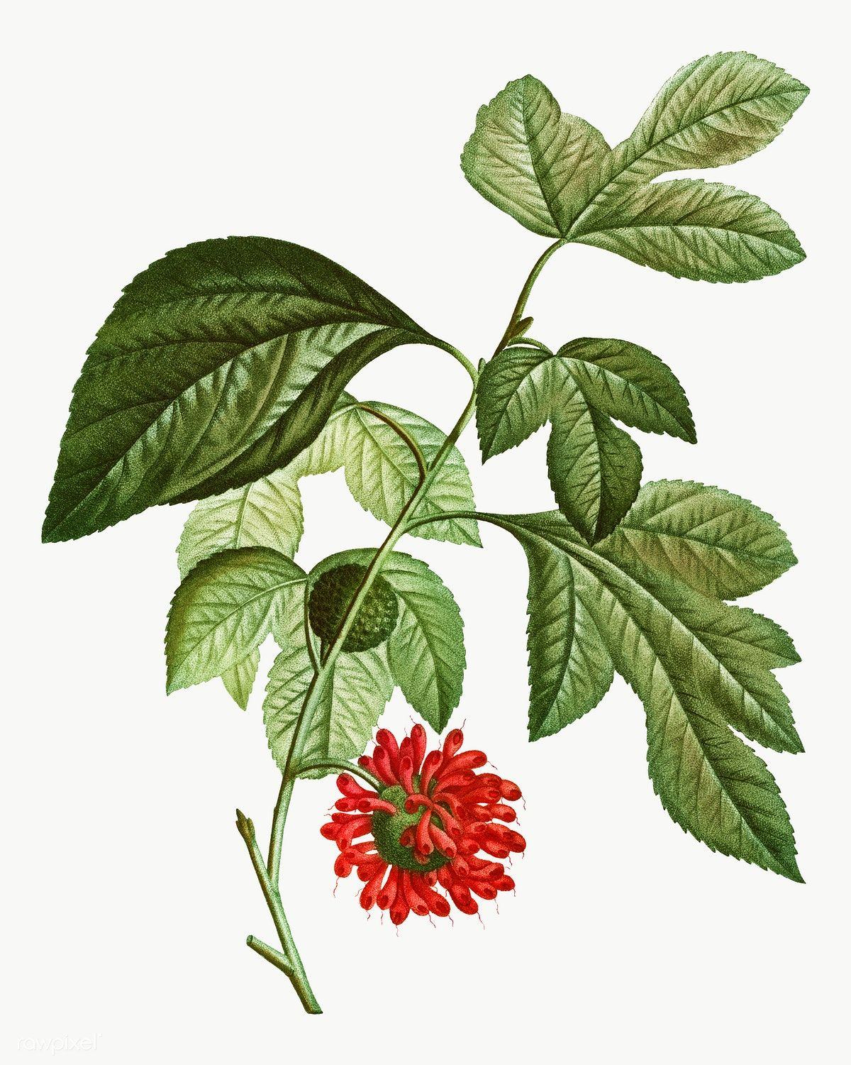 Paper Mulberry Png - Paper mulberry flower transparent png | free image by rawpixel.com ...