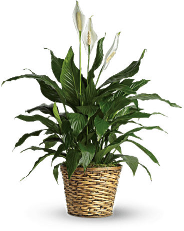 Peace Lily Png - Peace lily png » PNG Image