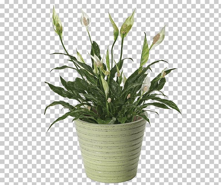 Peace Lily Png - Peace Lily Variegation Houseplant Dwarf Umbrella Tree PNG, Clipart ...