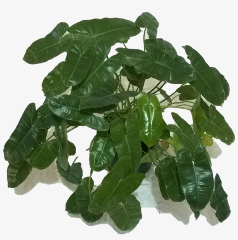 Philodendron Png - Philodendron - Houseplant - Free Transparent PNG Download - PNGkey