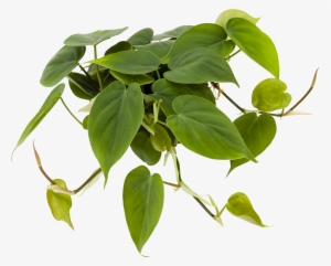 Philodendron Png - Philodendron PNG Images | PNG Cliparts Free Download on SeekPNG